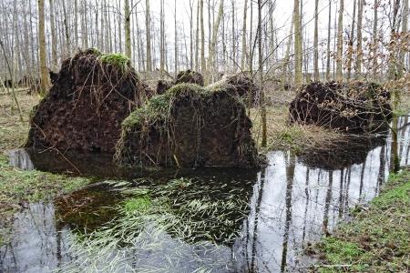 Horstenerbos-omgewaaide-bomen - Luken Hulsker